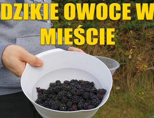 Zbieranie dzikich owoców w mieście