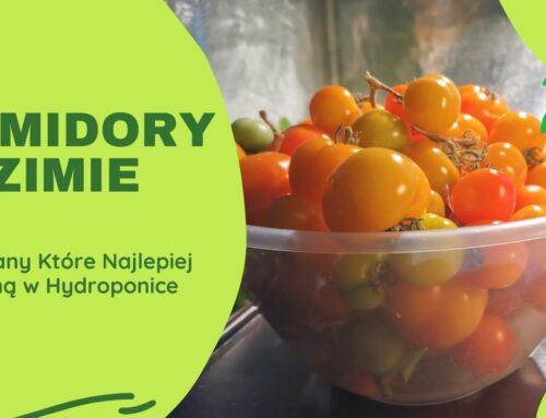 Zbiory pomidorów w zimie w hydroponice
