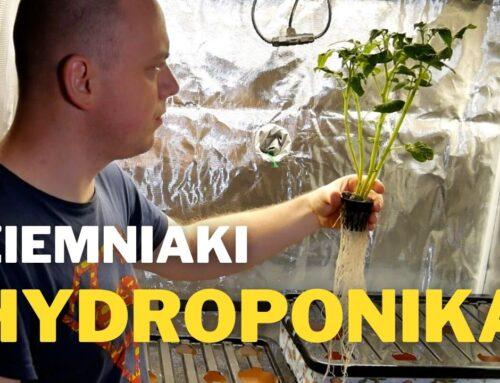 Ziemniak i pomidory w hydroponice pod lampą