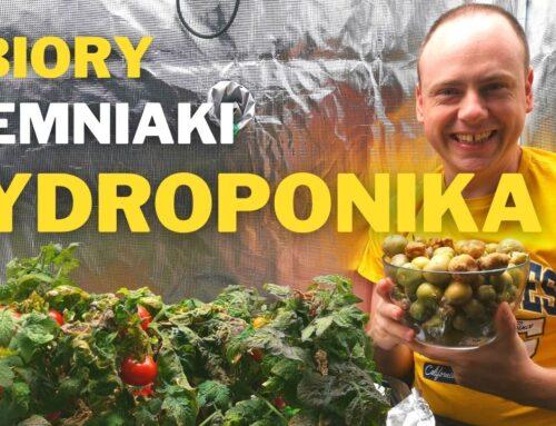 Ziemniak w hydroponice Zbiory w DWC
